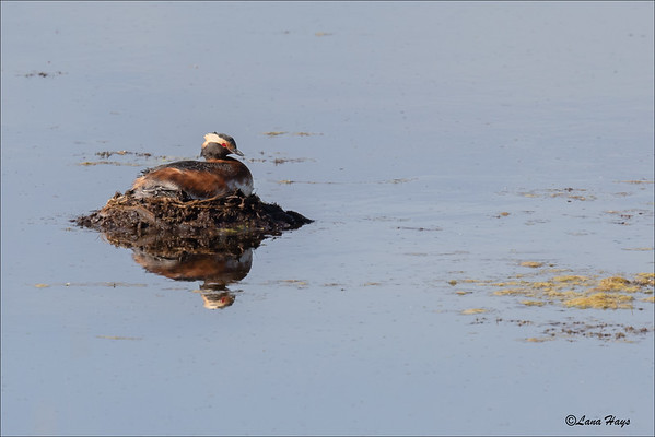 Horned Grebe on a nest
