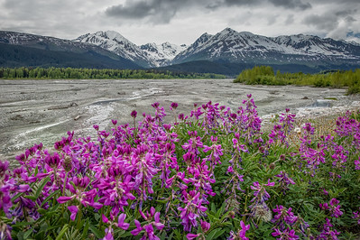 River Beauty in bloom along the Klehini River; Haines Highway, Alaska.