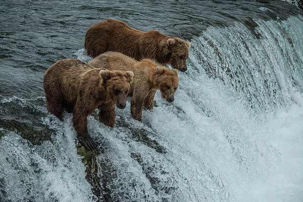 Brown Bears, Brooks Falls, Katmai National Park