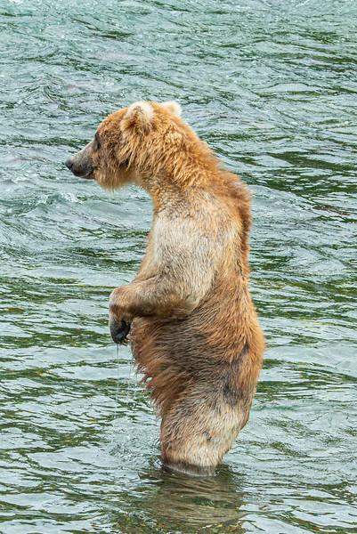 Brown Bear, Brooks Falls, Katmai National Park