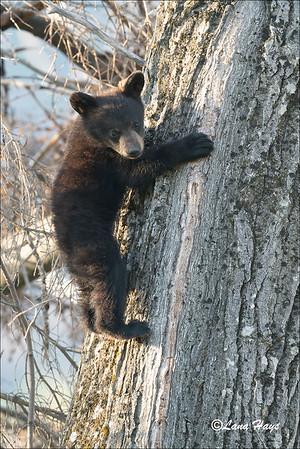 Black bear cub - Skilak Lake