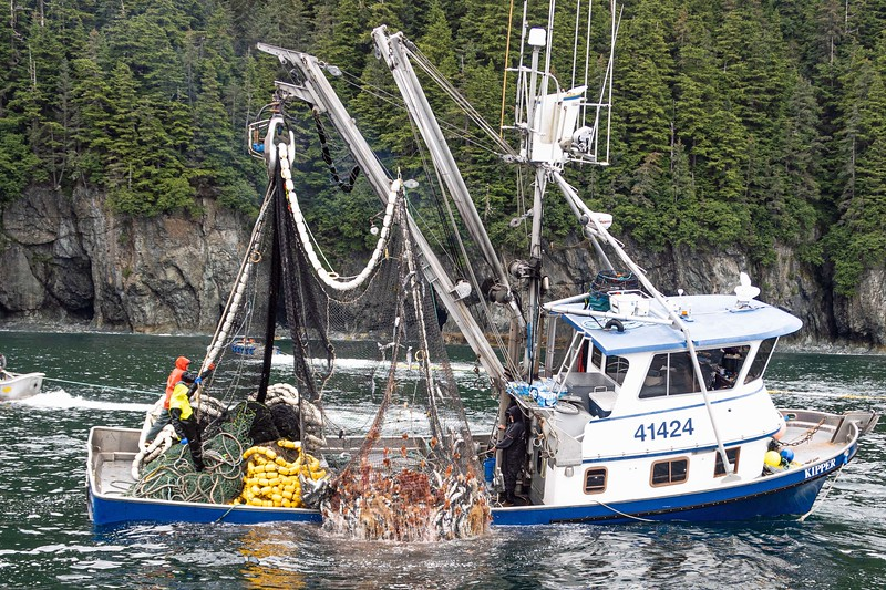 Overloaded with coho salmon in Prince William, Sound