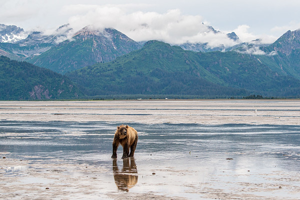 Low tide, Chinitna Bay, Brown Bear looking for dinner