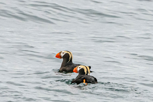 Tufted Puffins, Kenai Fiords National Park
