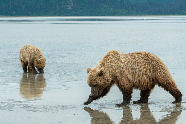 Mom and cub digging for clams, Chinitna Bay
