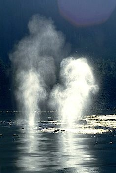 spray-of-two-whales_2648