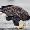 bald-eagle-feeding-on-fish_6598