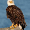 adak-island-bald-eagle_7470