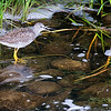 Yellowlegs (sp.)
