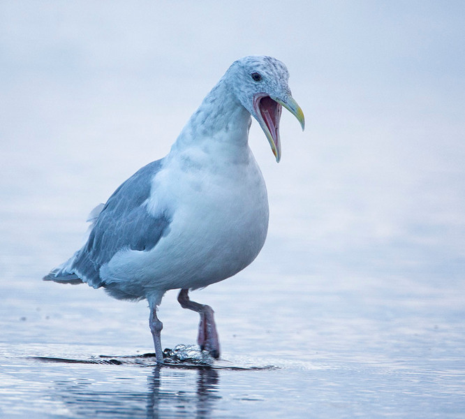 Glaucous-winged Gull (probably)