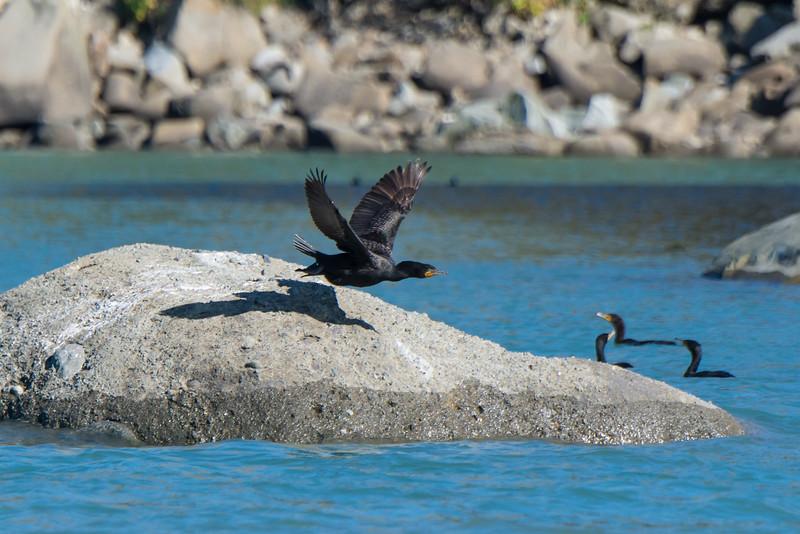 Cormorants at Puffin Island