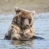 Crimp's cub playing with sticks inthe creek