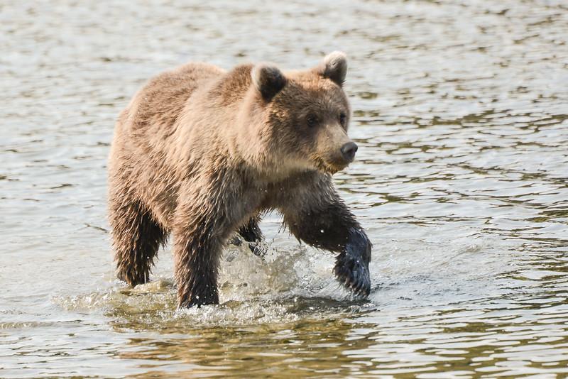Crimp's cub in the river