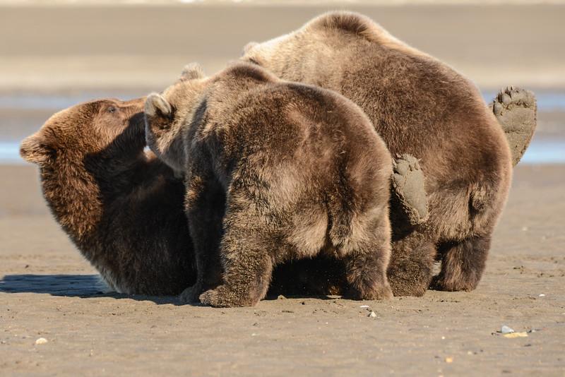 Crimp and cubs nursing on beach