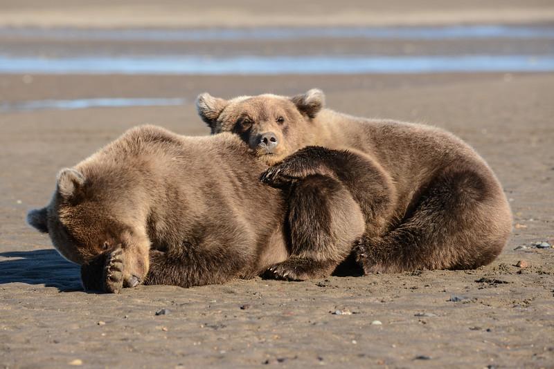 Crimp's cubs snuggled at beach