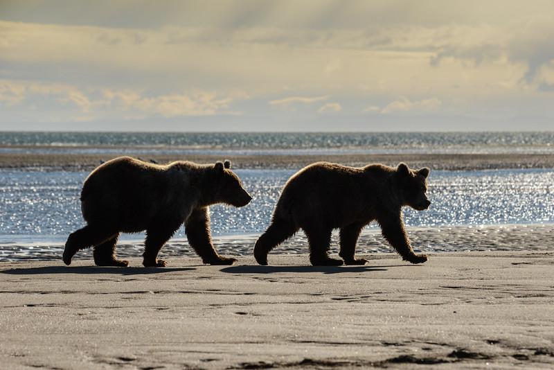 Crimp's cubs on beach