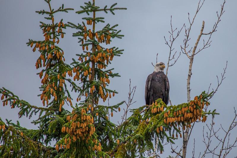 Eagle at Mendenhall Glacier - Juneau Alaska