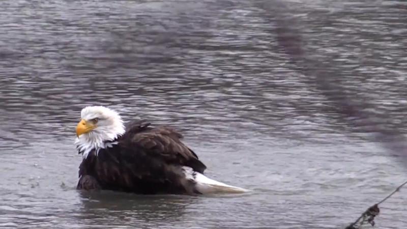 Eagle Feeding and Bathing