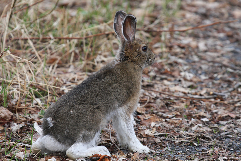 A baby snowshoe hare pauses in its playtime.
