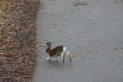 A baby snowshoe hare scampers after its playmate.