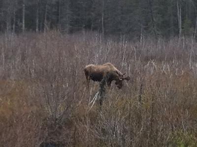 Juvenile Bull Moose near Exit Glacier in Seward, AK.