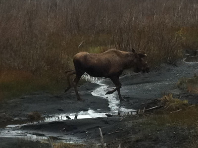 Juvenile Bull Moose strolling throught the field just outside of Seward, AK.