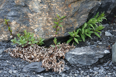 Plant life begining to grow where the glacier once stood.