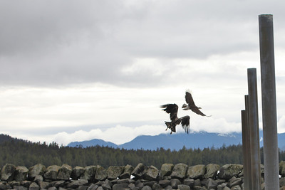 Eagles along Tongass Highway - Ketchikan Alaska