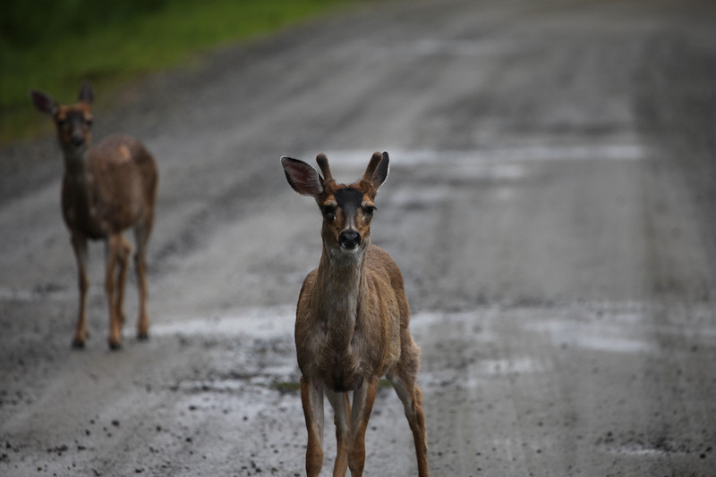 Deer on Tongass Highway - Ketchikan Alaska