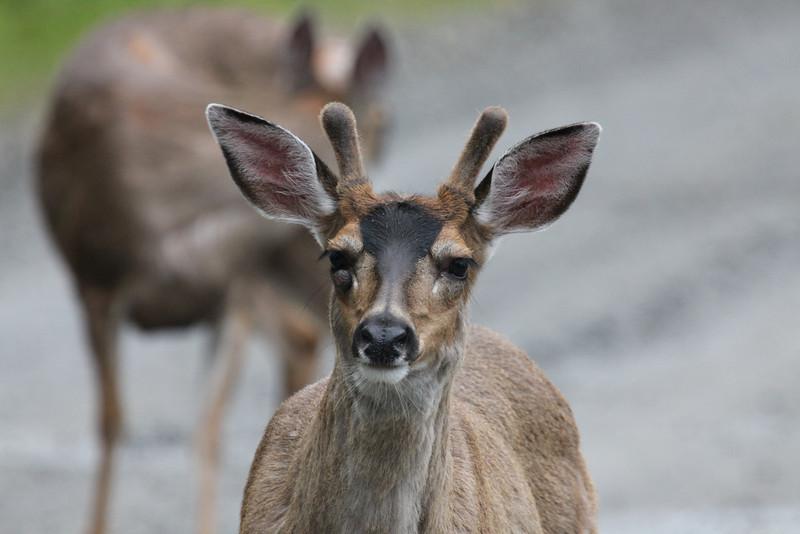 Deer on south Tongass Highway - Ketchikan Alaska