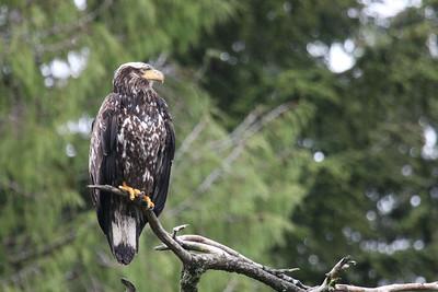 Eagle along S. Tongass Highway in Ketchikan Alaska.
