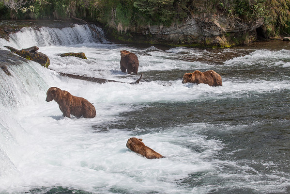 Bears at the Falls looking for salmon.