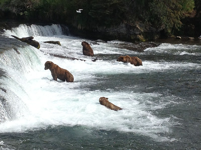The  iconic picture of the bears at Brooks Falls.