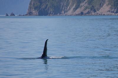 Male orca in Resurrection Bay.