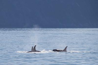 A pod of orcas in Resurrection Bay.