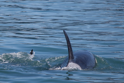 Orcas in Resurrection Bay.
