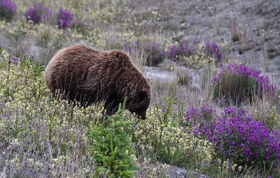 Susie, while driving, spotted this grizzly bear on the opposite side of the road.  She deftly did a Uueey right on the highway, and pulled to within about 75 yards of the bear.  The bear was eating flowers faster than I can use a spin trimmer.