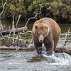 Coastal Brown Bear | Brooks River | Alaska