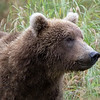Coastal Brown Bear | Katmai National Park | Alaska