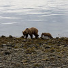 Bears : Bears Alaska 2008