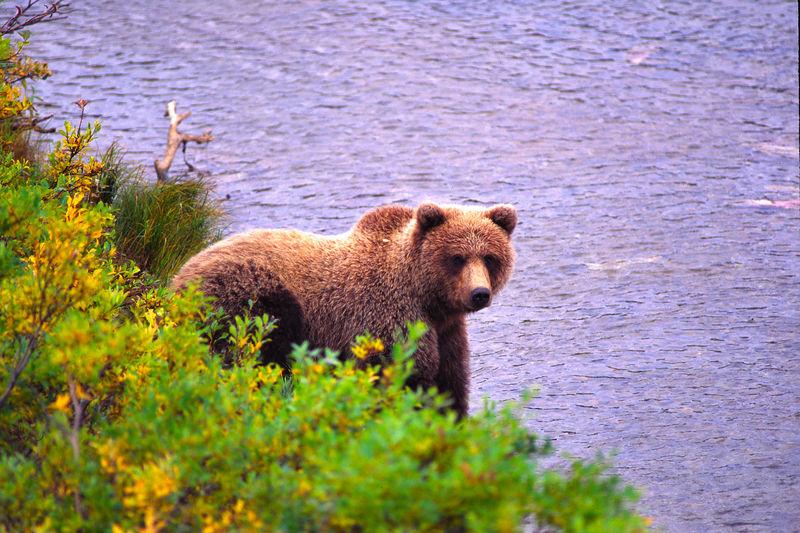 Morraine Bear