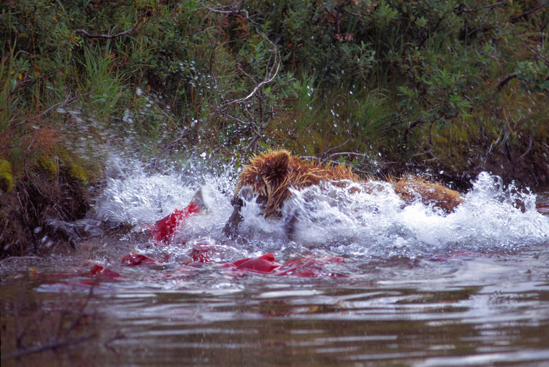 Elusive salmon