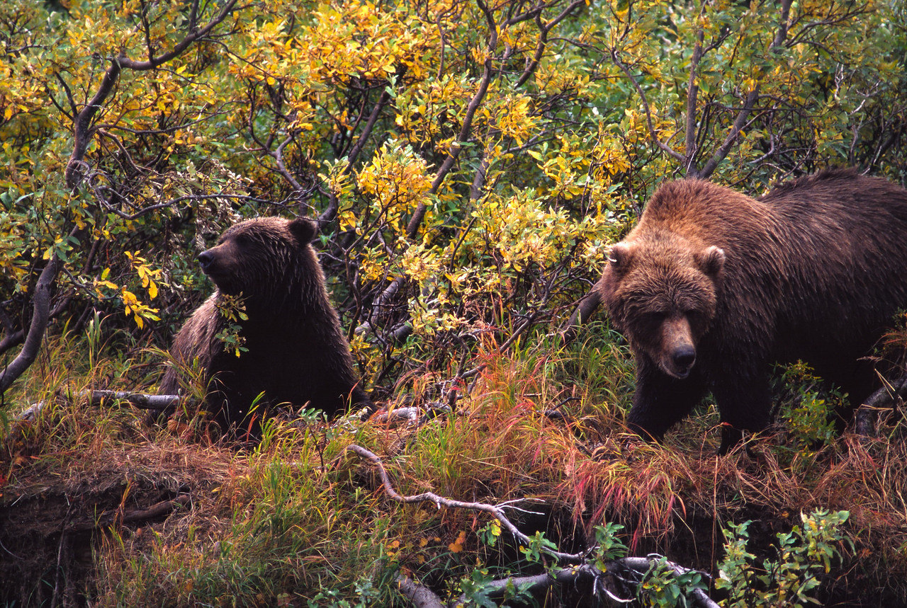 Bears looking for lunch