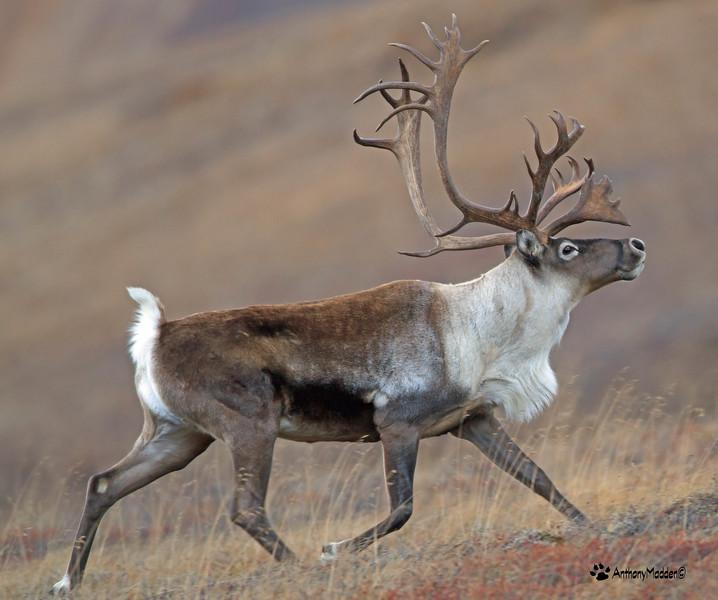 Caribou 3_edited-1