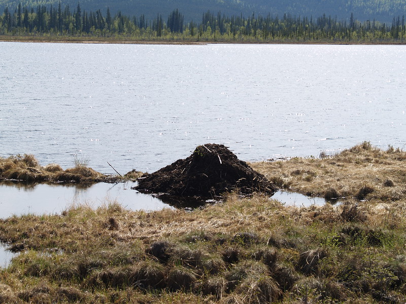 Beaver dam in the Yukon near Kluane.