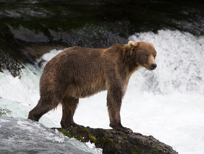 Bear at the Falls