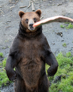 Salmon being thrown to a bear