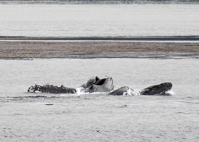 Humpbacked Whales lunge feeding