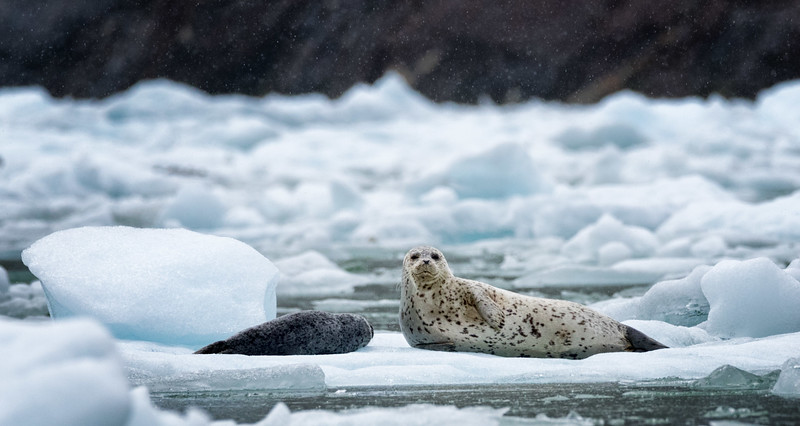 Harbor Seal mother and pup, Tracy Arm
