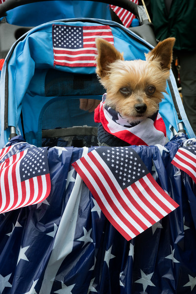 Fourth of July Parade, Petersburg, Alaska - patriotic dog